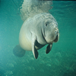 Manatee - Swim Lessons